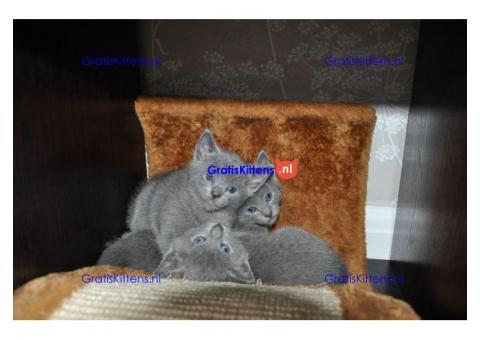 GCCF Geregistreerde Russische Blauwe Kittens