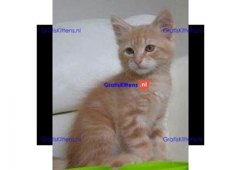 Zuivere Siberische Kittens Met Uitstekende Stamboom