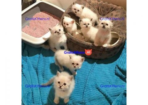 Socialiseren en vriendelijke Birmaan kittens.