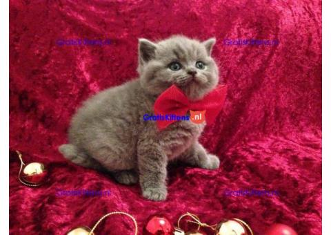 Britse korthaar kittens te koop