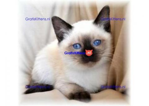 lieve schattige Siamese kittens