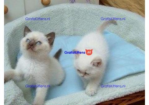 Ragdoll kittens van zuiver ras te koop