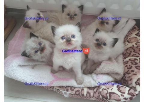 Ragdoll kittens (100% garantie)