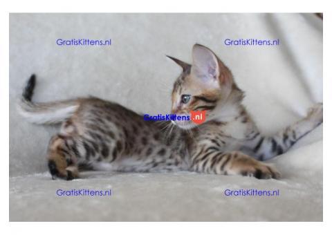 Vast voedsel/Savannah kittens