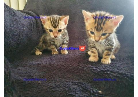 typische liefdevol Bengaalse kittens
