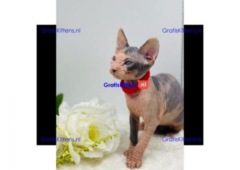 8 uitstekende vorm Sphynx kittens