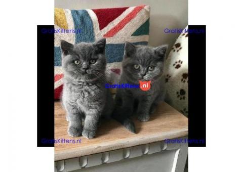 Schattige Britse blauwe korthaar kittens