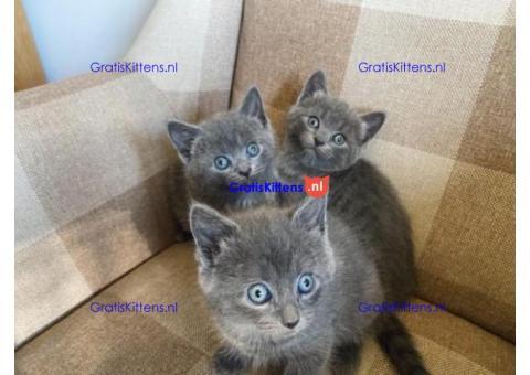 Speelse Russische blauwe kittens