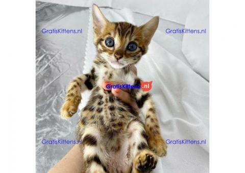 Bengaalse kittens