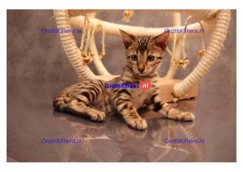 Bengaal kruizing blauwe rus kittens