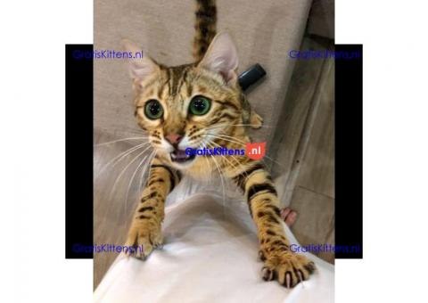 Bengaalse kittens/kattens