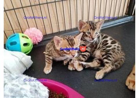 `TICA Geregistreerd Bengaalse kittens