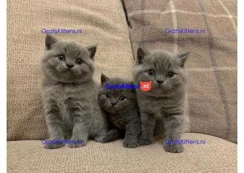 Uitstekende blauwe Britse korthaar kittens