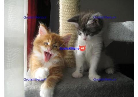 Geweldige Maine Coon-kittens beschikbaar