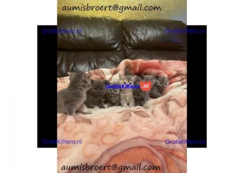 Schattige mannelijke en vrouwelijke Britse korthaar kittens