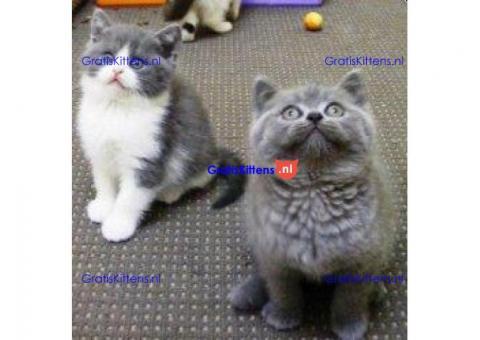 Aanhankelijke Britse kortharige kittens