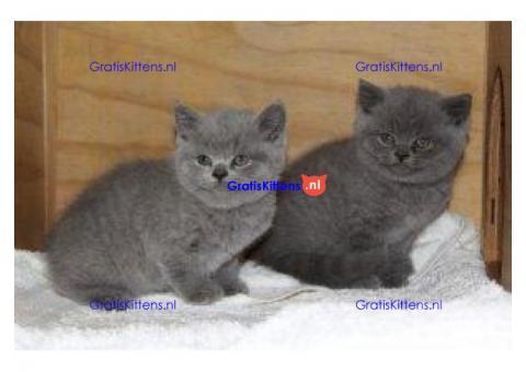 Uitstekende Britse korthaar kittens