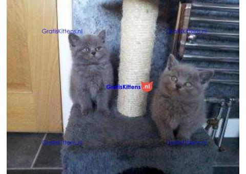Britse korthaar kittens. Schattig