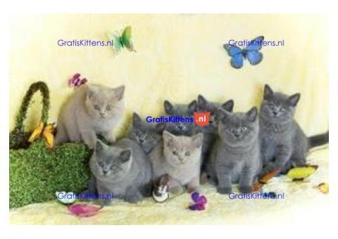 Met nest getrainde Britse korthaar kittens
