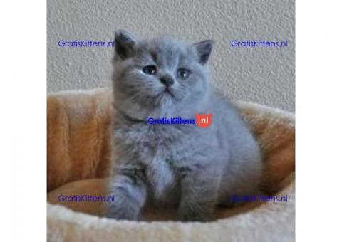 Superieure Britse korthaar kittens