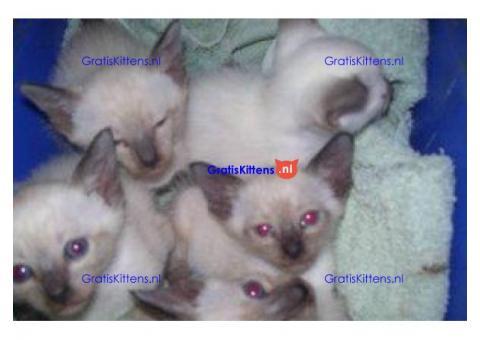 Raszuivere seal point siamese kittens te koop