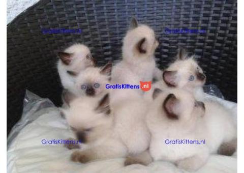 Klassieke Siamese Kittens -