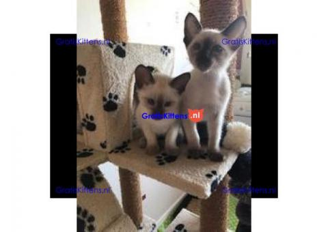 Siamese kittens te koop